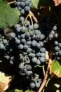 grapes lambrusco di sorbara.2
