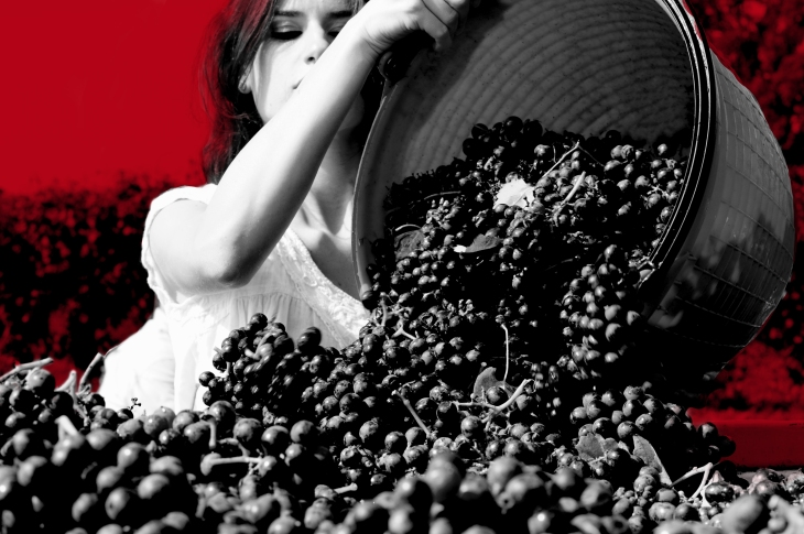 Lambrusco Harvest_2
